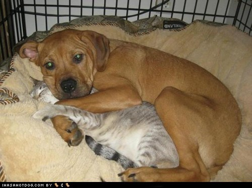 cat dogs hugs kittehs r owr friends spooning - 6453085952