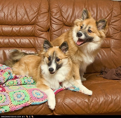 couch potatoes dogs goggie ob teh week icelandic sheepdog - 6453421824