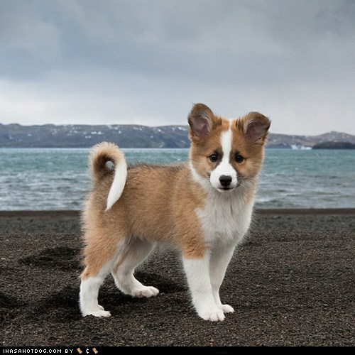 beach dogs goggie ob teh week icelandic puppy viking - 6453445888