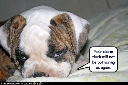alarm clock bed bulldog dogs interrupt puppy sleep in - 6454480128