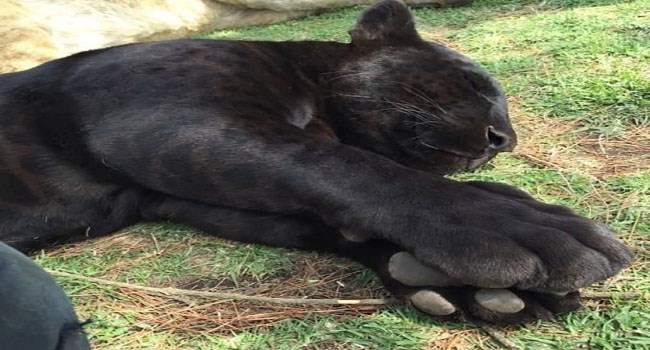 photos of big cats with their big paws and scary teeth