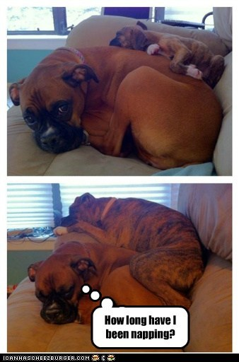 all grown up,boxer,captions,cuddle,dogs,nap,piled up,puppy