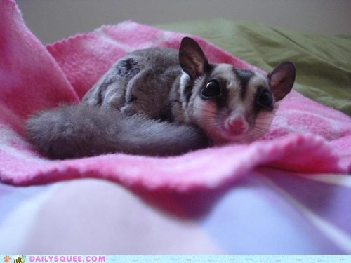 baby,blanket,pet,reader squee,sugar glider