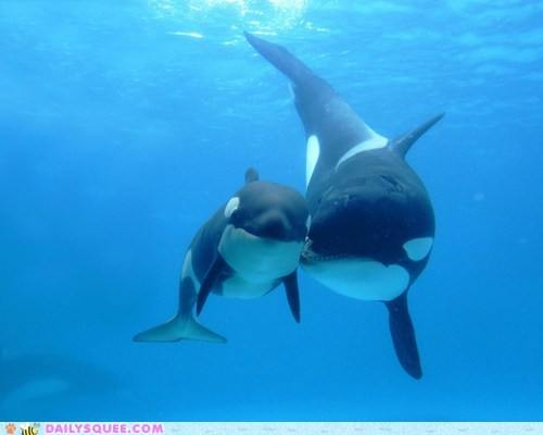 orcas under the sea orca whale killer whale whales squee