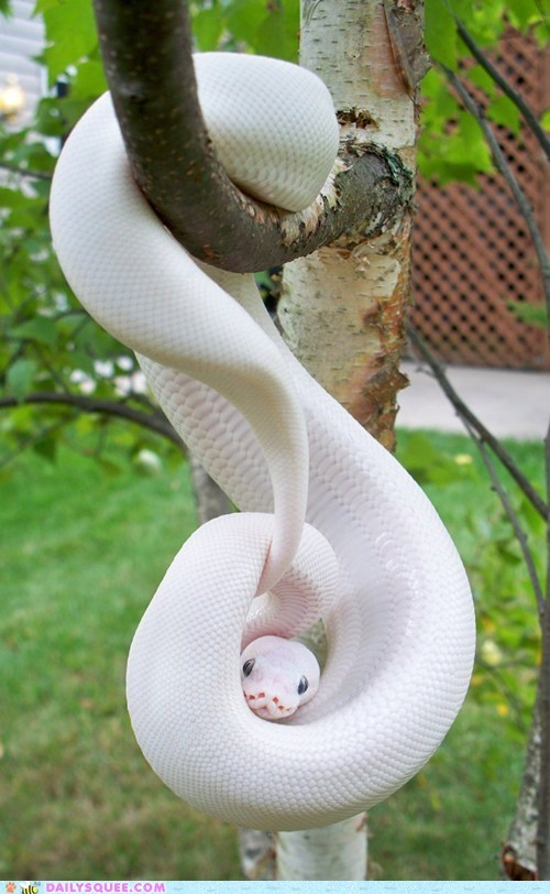 snake albino python squee chin rest hanging out