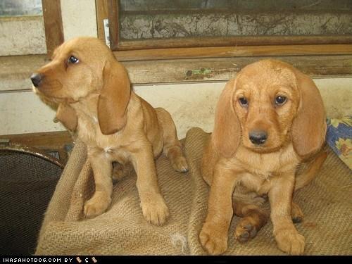 basset fauve de bretagne cyoot puppy ob teh day dogs puppy - 6456380160