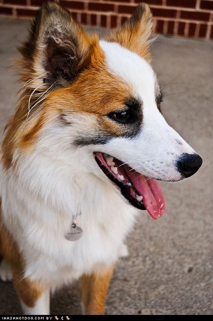 dogs goggie ob teh week icelandic sheepdog smile tongue - 6456531968