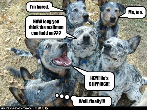 australian cattle dog bored dogs mailman - 6457252864