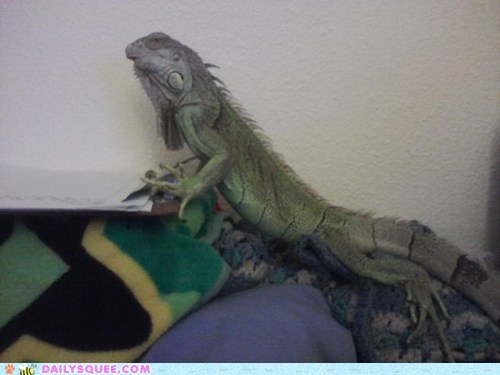 bed,iguana,king,lizard,pet,reader squee,wannabe