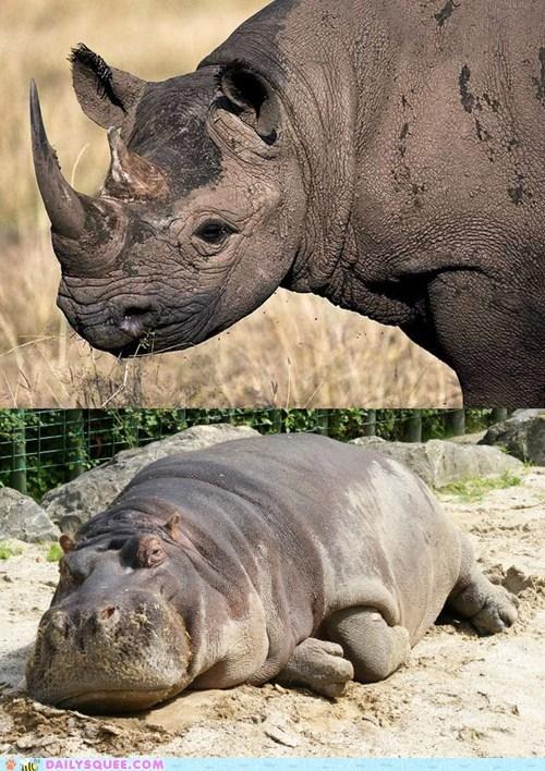 face off,hippopotamus,rhinocerous,squee spree,versus
