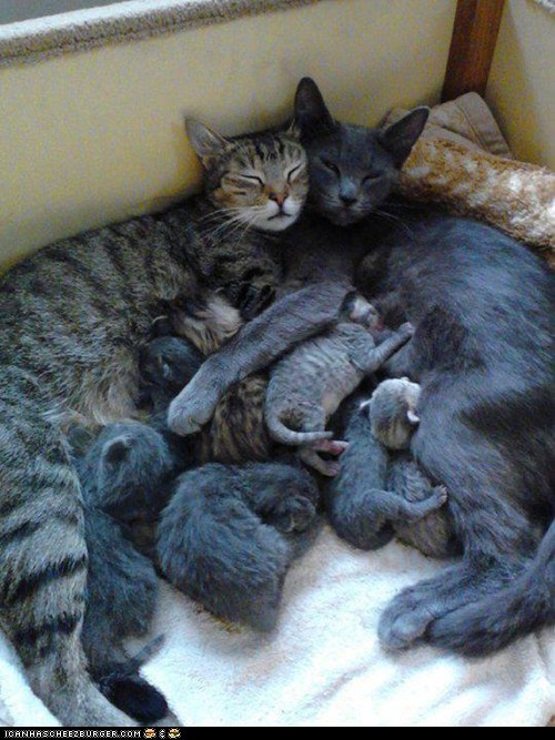big families,Cats,cyoot kitteh of teh day,families,family,kitten,litter,litter of kittens,newborns,nursing,parents