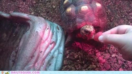 pet raspberry reader squee tortoise turtle - 6460586240