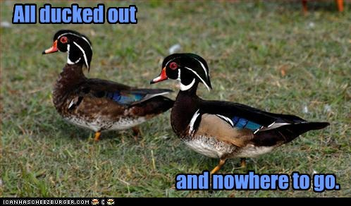 dressed up ducks nowhere plumage pun style - 6461645312