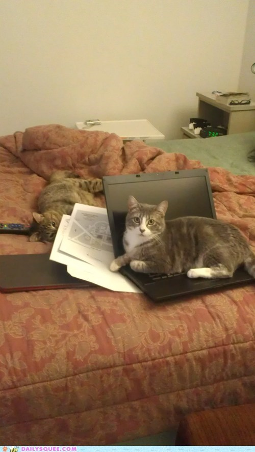 bed cat computer laptop pet reader squee work - 6466425600