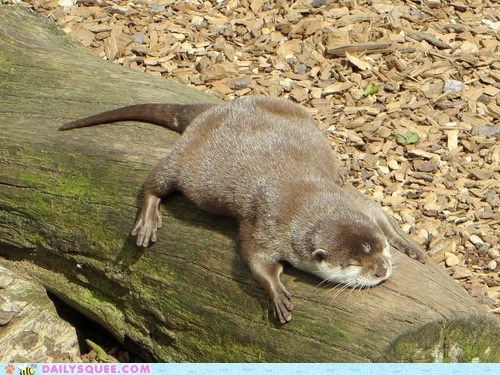 squee,otter,log,sunbathing,nap,sleeping