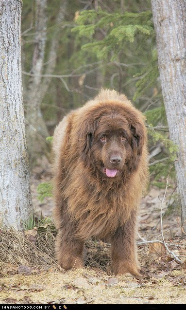 dogs Gentle Giant goggie ob teh week newfoundland