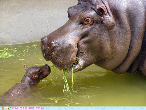 baby,Hall of Fame,hippo,hippopotamus,mommy,noms,squee,squee spree