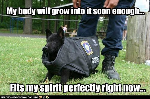 attitude,bulletproof,captions,dogs,police dog,puppy,Spirit,what breed