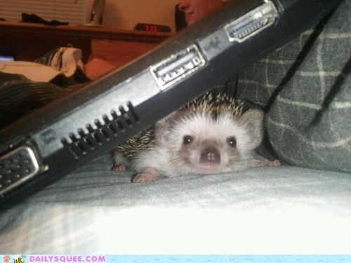 Little Spiny Norma as a baby thinks under the warm laptop is the best place to hide!