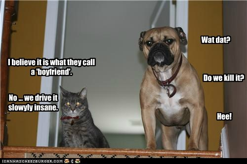 boxer,boyfriend,cat,Cats,dogs,plotting,torment