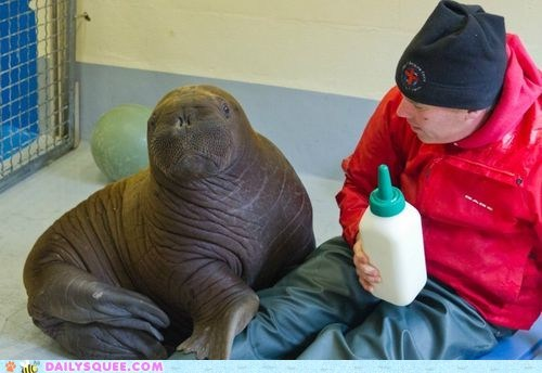 alaska baby Hall of Fame orphan rescued squee walrus - 6472582656