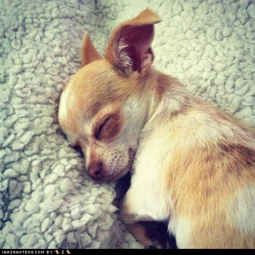 chihuahua cyoot puppy dogs nap puppy sleeping - 6472817408