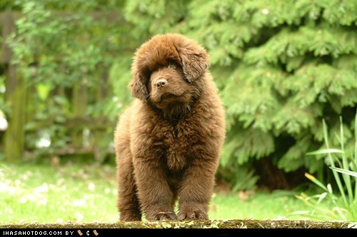 dogs goggie ob teh week newfoundland puppy - 6472868096