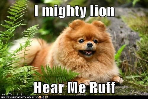 dogs,Fluffy,king of the jungle,lion,pomeranian,roaring