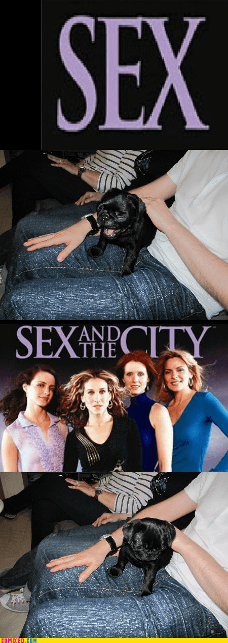 pug reaction guys reaction pug sex and the city