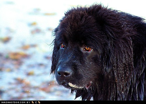 dogs,goggie ob teh week,newfie,newfoundland,wet