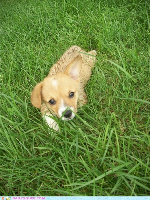 corgi,dogs,grass,pet,puppy,reader squee