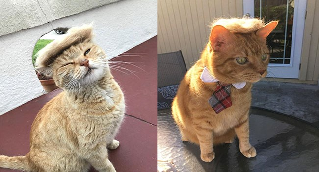 Cats that look like donald trump because of the hair. It is the hair, isn't it?
