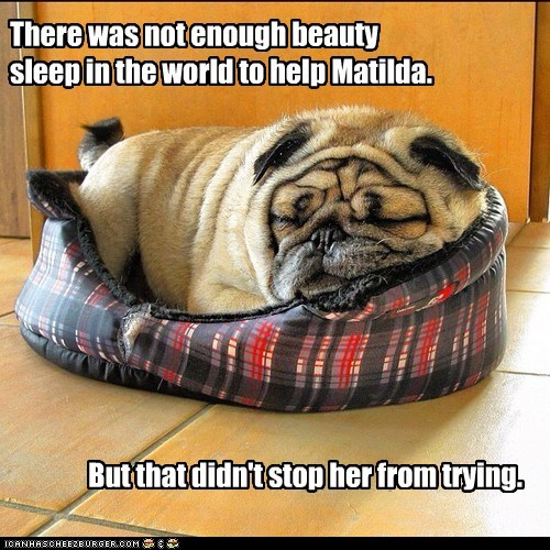 beauty sleep,captions,dog bed,dogs,napping,pug,wrinkles