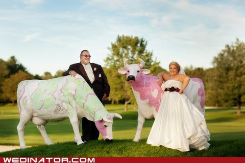 bride,cows,funny wedding photos,groom