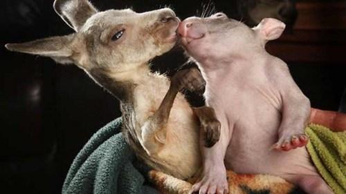 baby joey,baby wombat,best mates,interspecies interminglin,Interspecies Intermingling