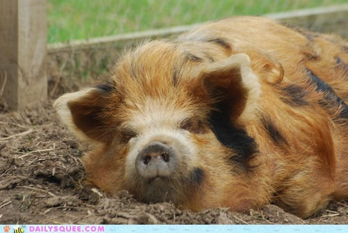 furry hairy hog mud pig snout squee - 6478611968