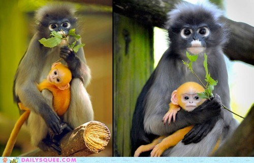 baby langur mommy monkey squee - 6478635776
