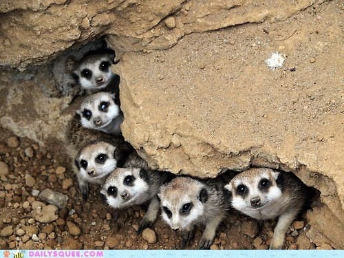 squee meerkat family rocking out rocks - 6478636032