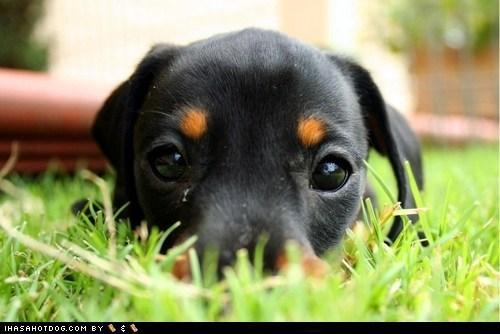 cyoot puppy ob teh day doberman pinscher grass puppy - 6478898432