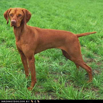 dogs face off goggie ob teh week vizsla - 6478917376