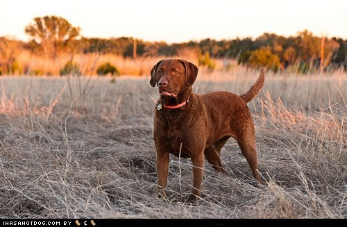 chesapeake bay retriever,dogs,face off,goggie ob teh week