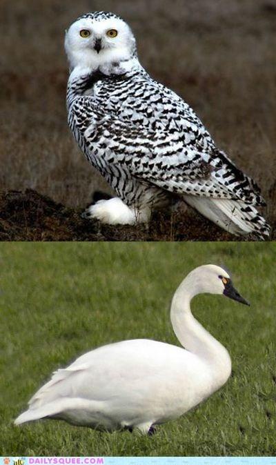 birds face off snowy owl squee spree swan versus - 6479061248