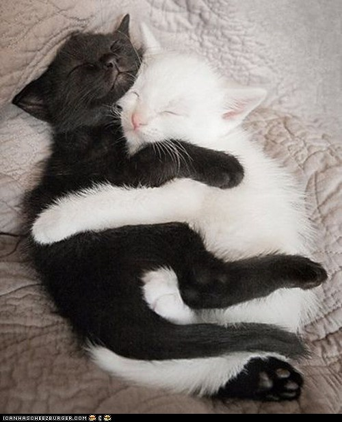 black and white Cats cuddles cuddling cyoot kitteh of teh day hugging kitten yin yang - 6479328256