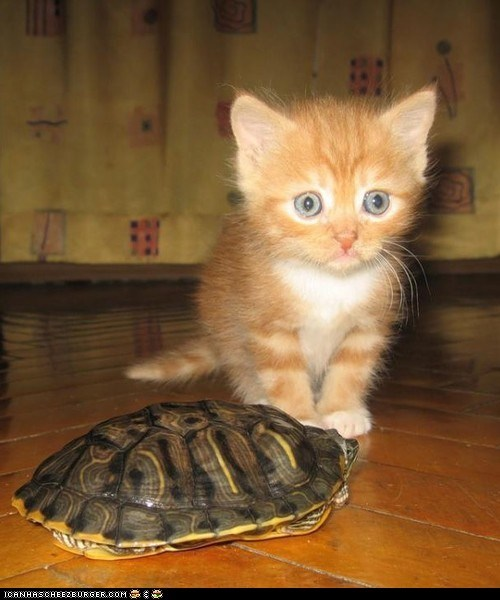 Cats,cyoot kitteh of teh day,Interspecies Love,kitten,scared,turtles,what is it