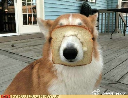 blind bread corgi dogs face snout - 6480418048