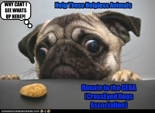 cross eyed,dogs,donate,foundation,help,nom,pug,treat