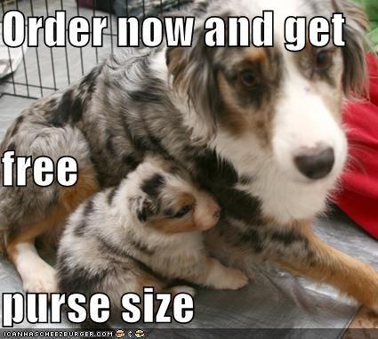 australian shepherd puppy whatbreed - 648255744