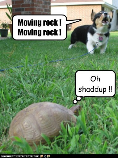 corgi,dogs,gaurd dog,grass,rock,sound the alarm,tortoise,turtle