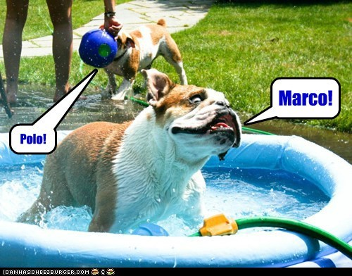 bulldog,derp,dogs,kiddie pool,Marco Polo,water