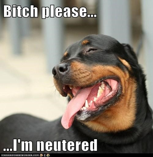 bch-please dogs neutered Rotweiler smile smug tongue